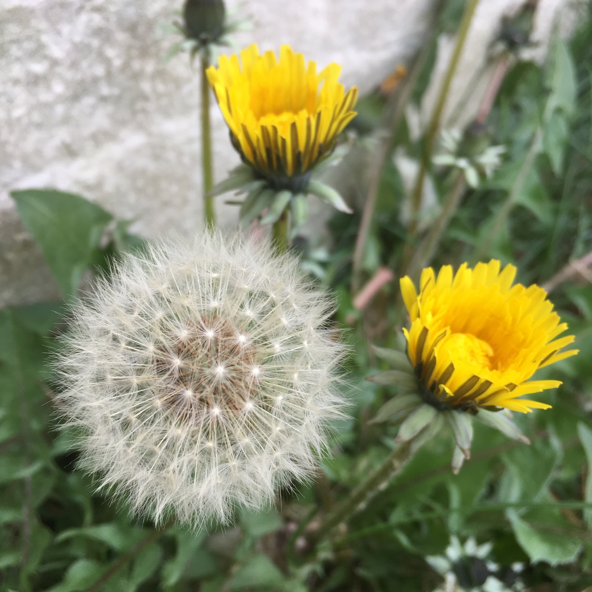 Dandelions and Fairy Clocks
