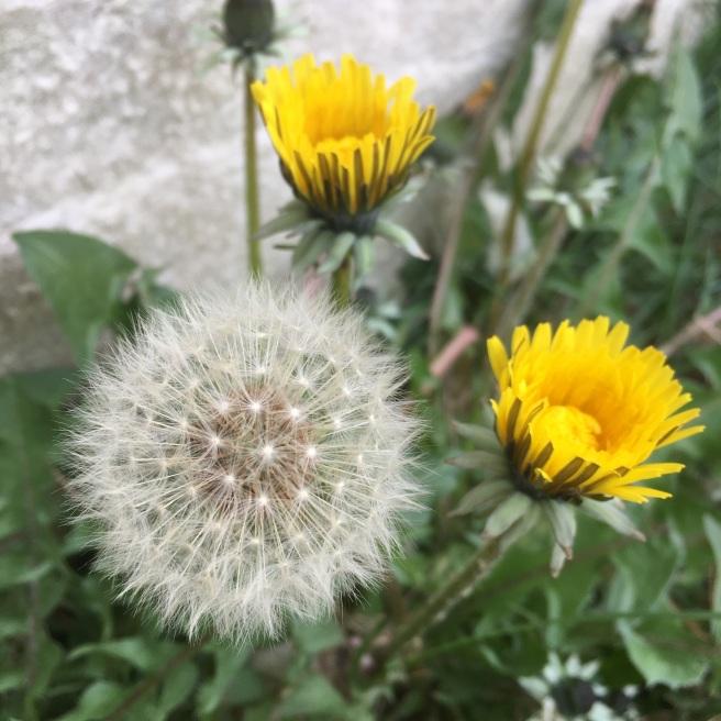 Dandelions and Fairy Clocks