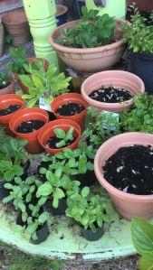 Sunflower Seedlings